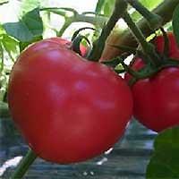 「垢田のごちそうトマト」の写真