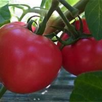垢田のごちそうトマトの写真
