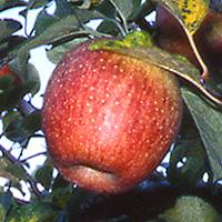 徳佐りんごの写真