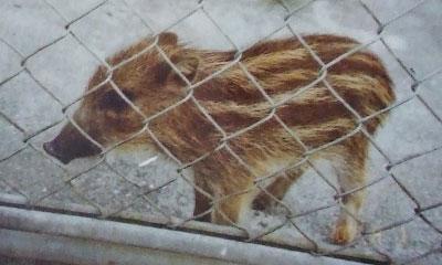 イノシシの錦゛子がうり坊のころの写真