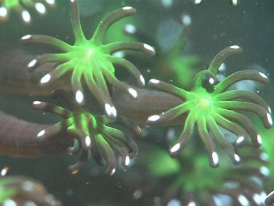 周防大島町近海には世界最大級といわれる「ニホンアワサンゴ」の大群落の写真