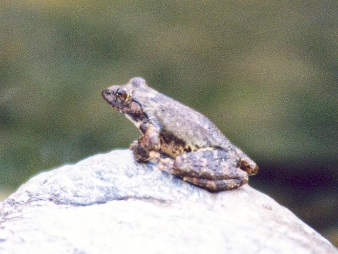 カジカガエルの写真