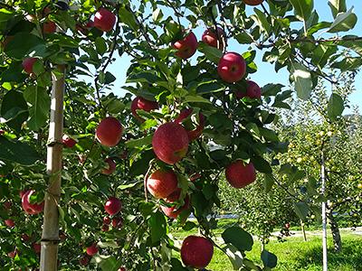たわわに実ったリンゴの写真