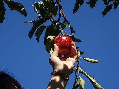 リンゴをもぐ様子の写真