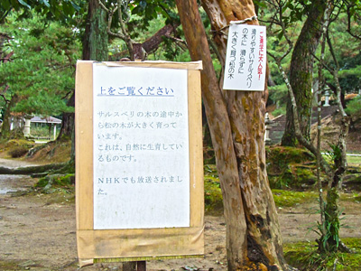 サルスベリの木の説明書きの写真