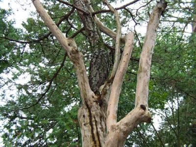 サルスベリの木の途中から生えている松の写真