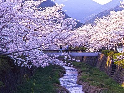 一の坂川の桜の風景の写真