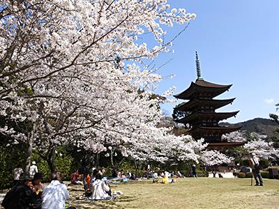 国宝・瑠璃光寺五重塔の桜の風景の写真